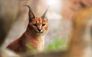 Free Lynx Close Up Picture for Android, iPhone and iPad