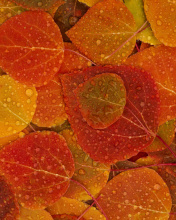 Screenshot №1 pro téma Autumn leaves with rain drops 176x220