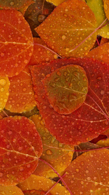 Screenshot №1 pro téma Autumn leaves with rain drops 360x640
