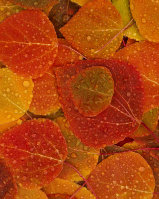 Kostenloses Autumn leaves with rain drops Wallpaper für 176x220