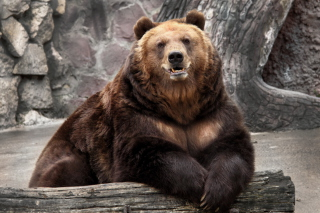 Bear in Zoo Picture for Android, iPhone and iPad