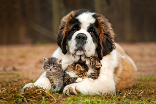 St Bernard Dog with Kittens Picture for Android, iPhone and iPad