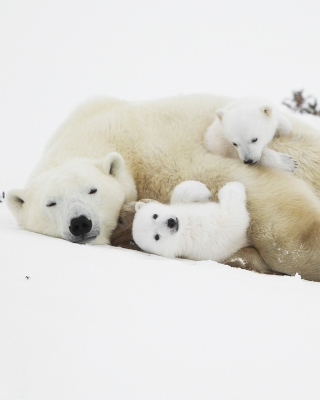 Free Polar Bears Picture for 480x640