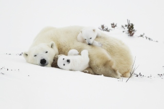 Free Polar Bears Picture for Android, iPhone and iPad