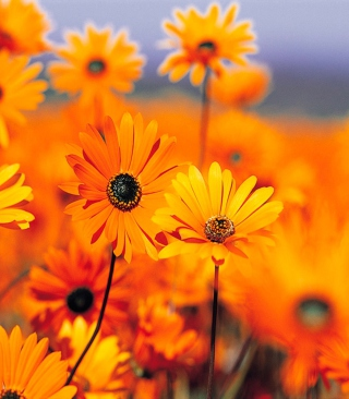 Free Orange Flowers Picture for Nokia C1-01