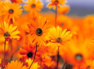 Kostenloses Orange Flowers Wallpaper für Android, iPhone und iPad