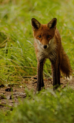Sfondi Red Fox 240x400