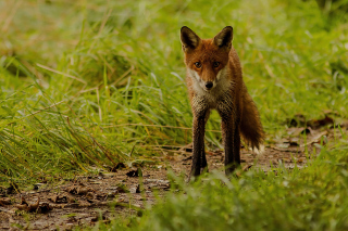Red Fox Picture for Android, iPhone and iPad