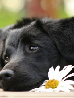 Screenshot №1 pro téma Black Dog With White Daisy 240x320