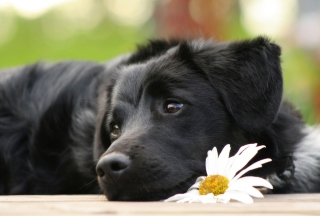 Kostenloses Black Dog With White Daisy Wallpaper für Samsung Galaxy S6