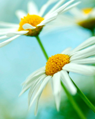 Macro Daisies Background for Nokia C1-01