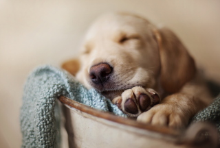 Sleepy Dog Wallpaper for Android, iPhone and iPad