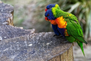 Parrot Couple Wallpaper for Android, iPhone and iPad