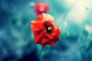 Wild Red Poppy Wallpaper for 1920x1200