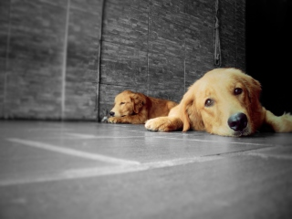 Golden Retriever Picture for Android, iPhone and iPad