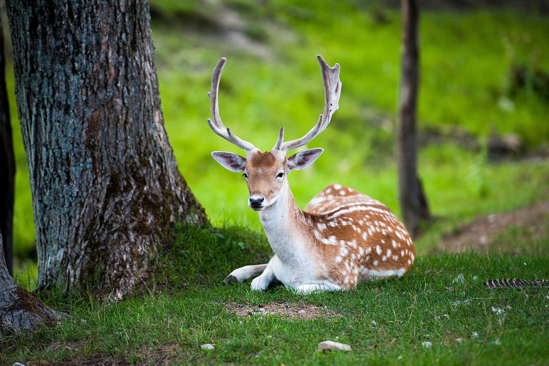 природа животные олени nature animals deer без смс