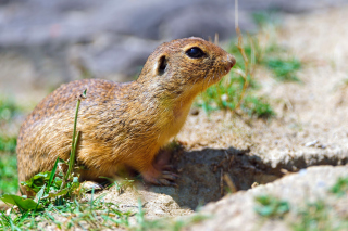 Free Gopher Picture for Android, iPhone and iPad
