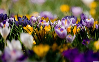Crocus Field Background for Android, iPhone and iPad