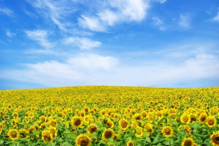 Free Sunflower Landscape Picture for Android, iPhone and iPad