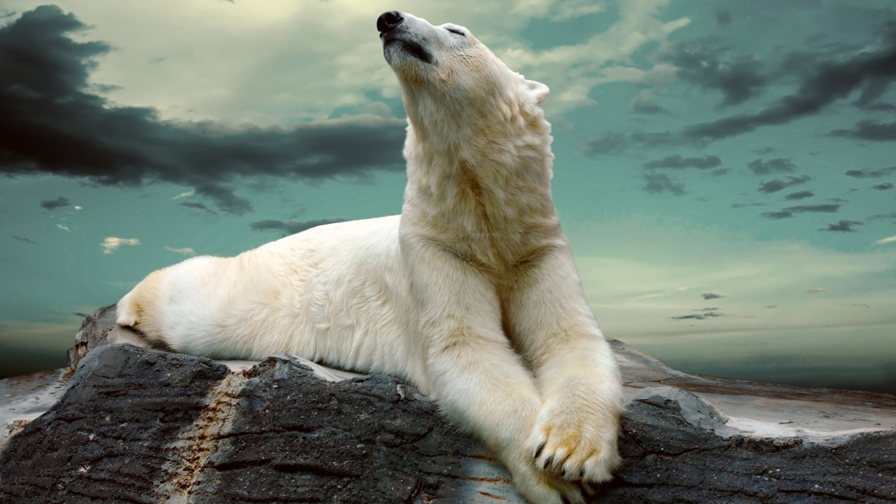 Polar Bear Resting On Rocks