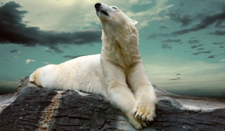 Polar Bear Resting On Rocks Picture for Android, iPhone and iPad