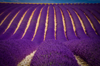 Lavender garden in India Wallpaper for Android, iPhone and iPad