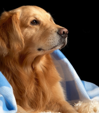 Golden Retriever Under Blue Blanket - Fondos de pantalla gratis para 640x960