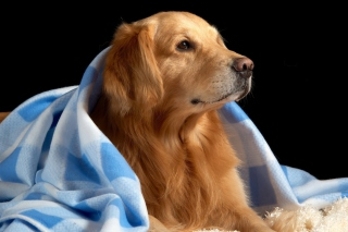 Golden Retriever Under Blue Blanket Picture for Android, iPhone and iPad