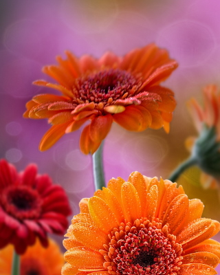 Gerberas Drops HD Background for 240x320