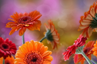 Gerberas Drops HD Background for Nokia XL