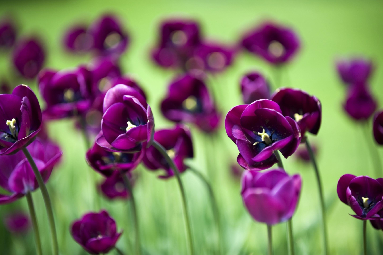 тюльпаны цветы фокус бесплатно
