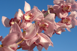 Pink Orchids Picture for Android, iPhone and iPad