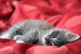 Картинка Cute Grey Kitty On Red Sheets для телефона и на рабочий стол Android 480x800