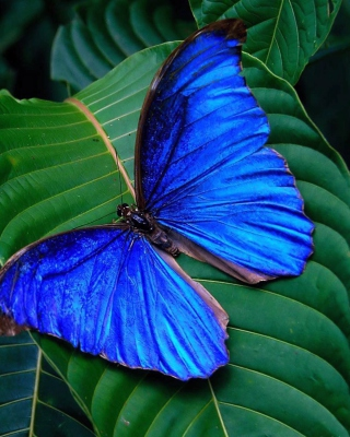 Free Blue Butterfly Picture for iPhone 5