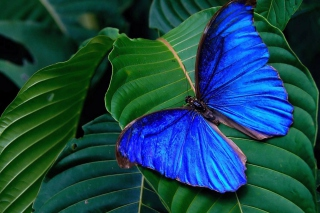 Blue Butterfly Picture for Android, iPhone and iPad