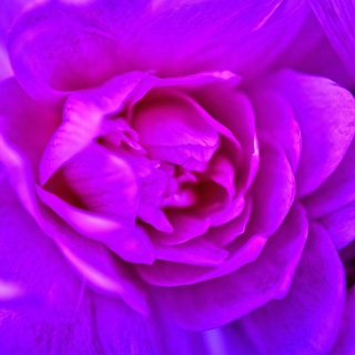 Purple Flower of Book - Fondos de pantalla gratis para iPad 2