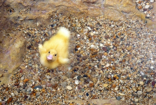 Baby Duck On Clear Water sfondi gratuiti per 1920x1200
