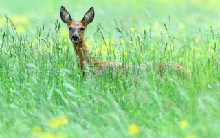Deer In Green Grass sfondi gratuiti per cellulari Android, iPhone, iPad e desktop