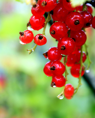 Red currant with Dew Wallpaper for iPhone 6 Plus