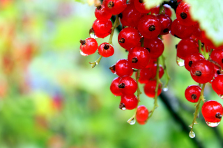 Free Red currant with Dew Picture for Android, iPhone and iPad