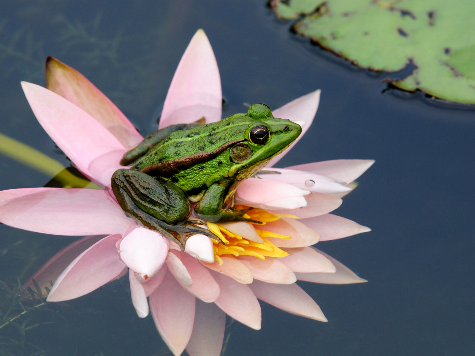 Screenshot №1 pro téma Frog On Pink Water Lily 1600x1200