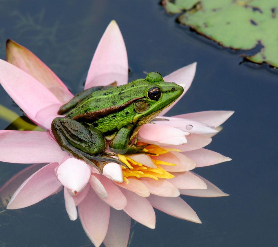 Screenshot №1 pro téma Frog On Pink Water Lily 960x854