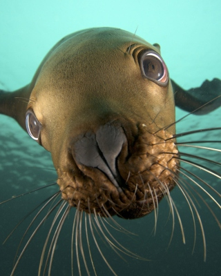 Seal Close Up sfondi gratuiti per iPhone 6 Plus