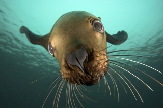 Seal Close Up Background for Android, iPhone and iPad