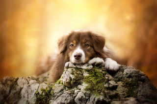 Sad Puppy Background for Android, iPhone and iPad