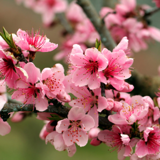Spring apple tree blossoms Wallpaper for iPad 3