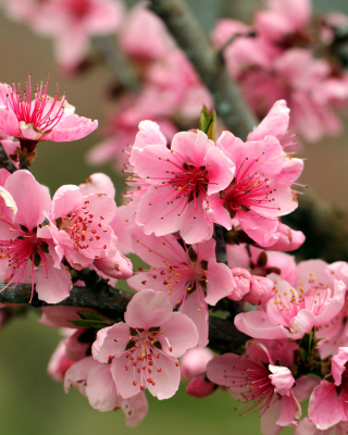 Spring apple tree blossoms Wallpaper for 640x1136