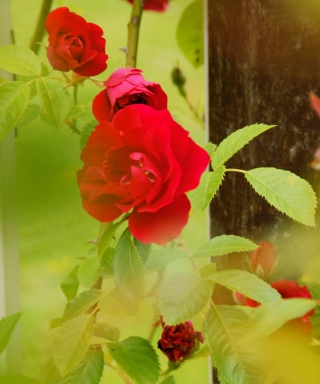 Free Red Roses Picture for Nokia Asha 311