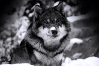 Wolf In Winter Background for Android, iPhone and iPad