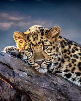 Sad Leopard Picture for HTC Titan